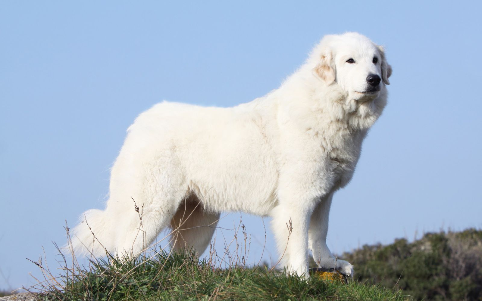 Pyrenean Mountain Dog - Main