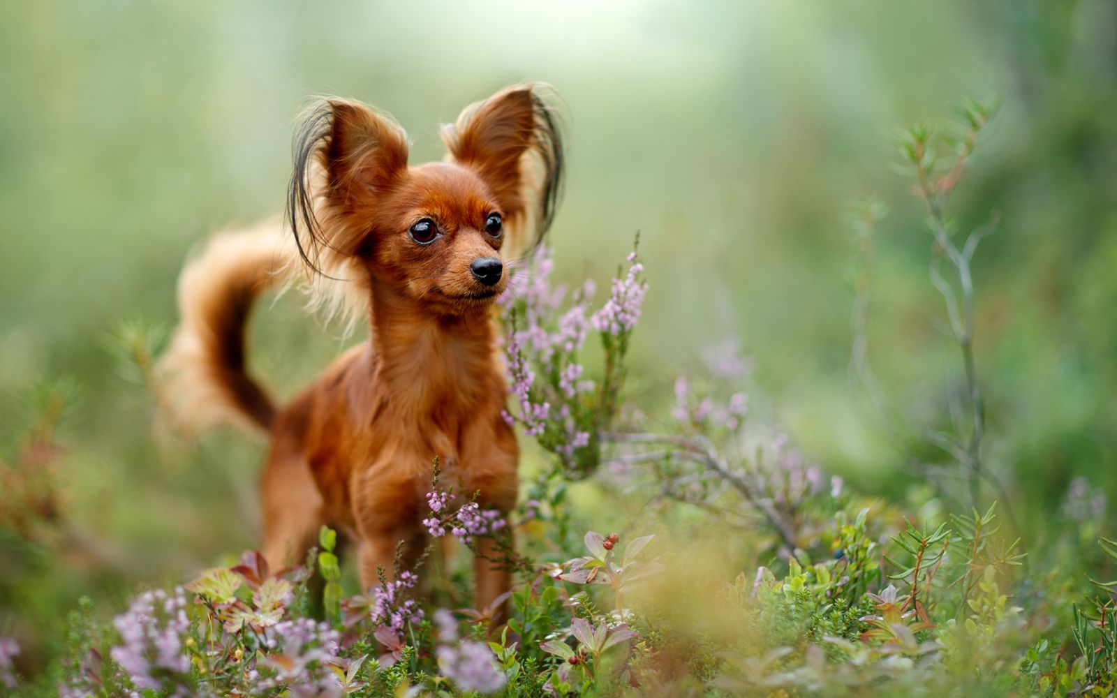 Russian Toy Terrier - Main