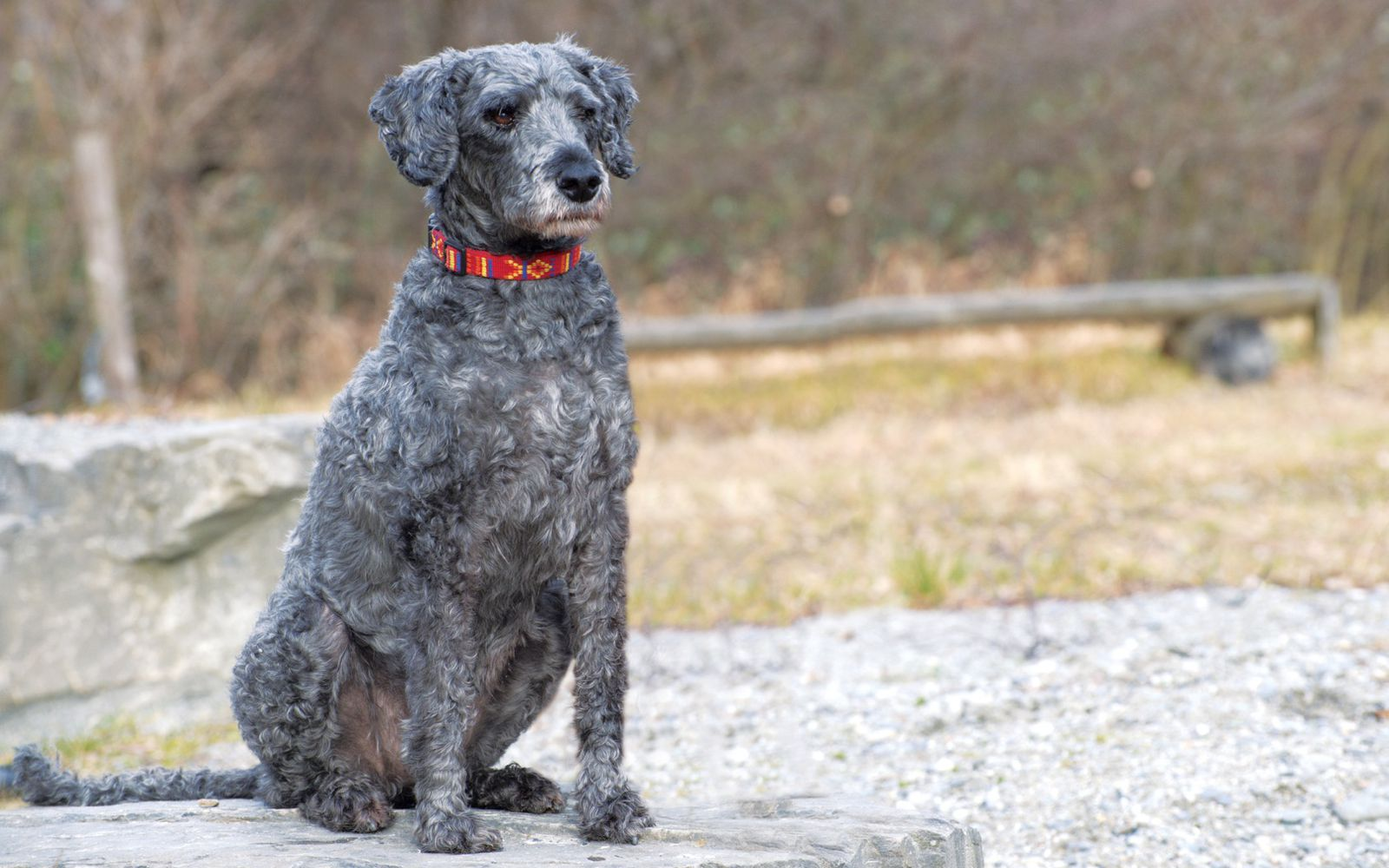 Schnoodle Large - Main