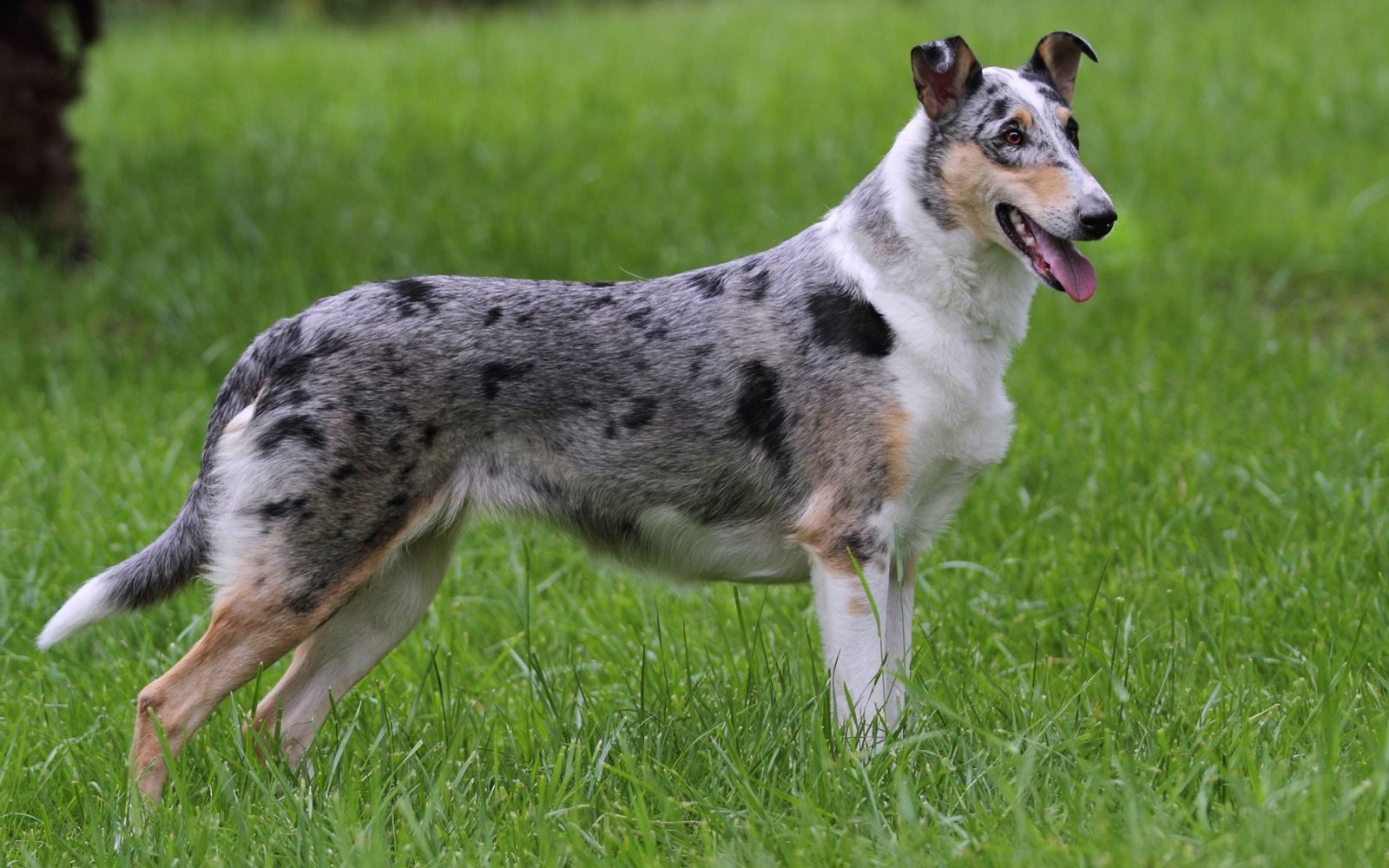 Smooth Collie - Main