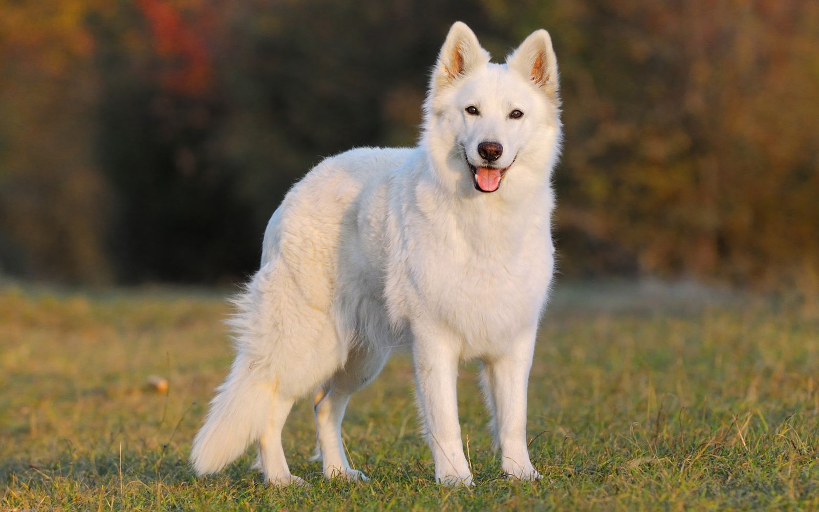 White Swiss Shepherd - Main