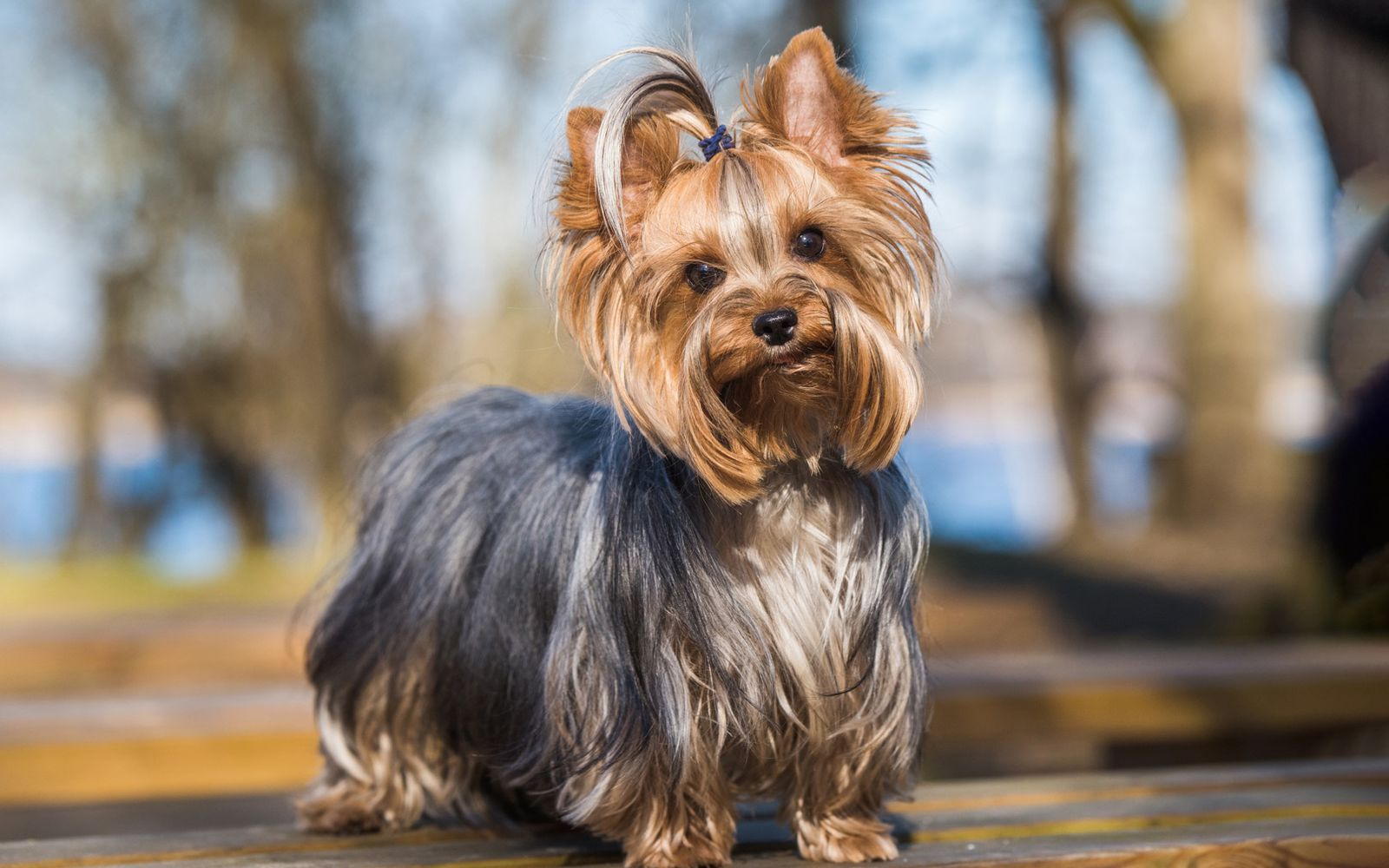 Yorkshire Terrier - Main