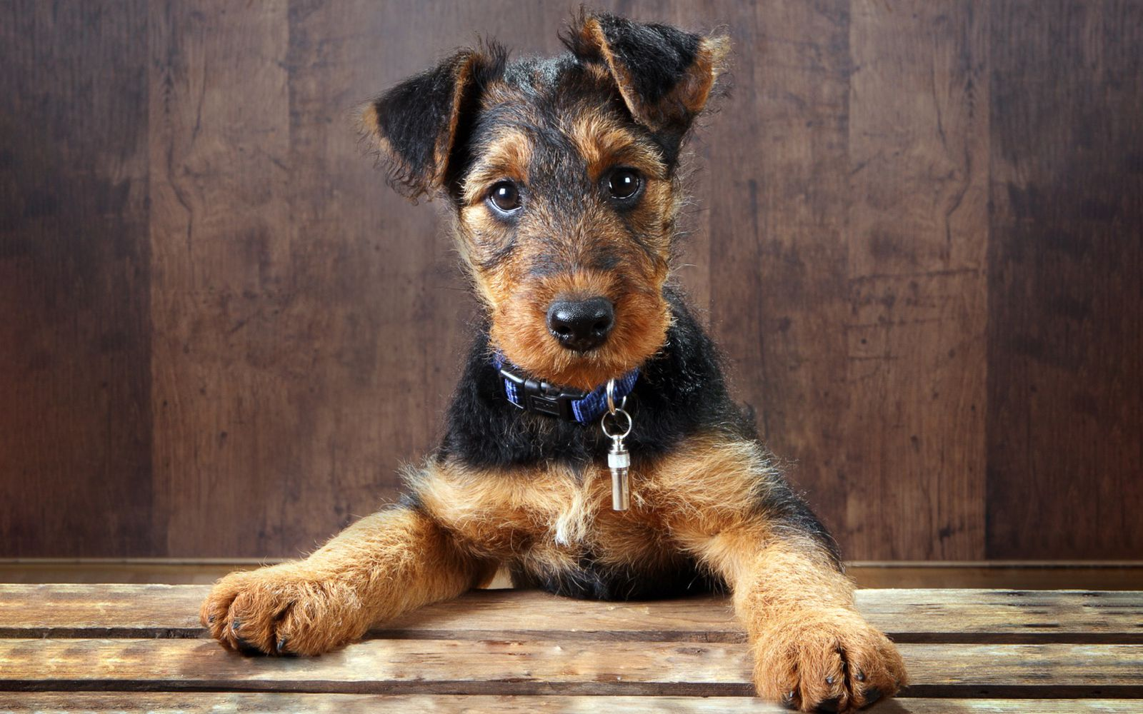 Airedale Terrier - Puppy