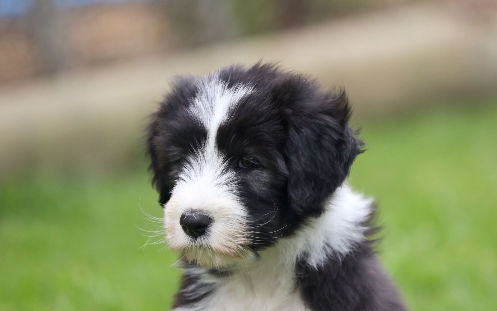 Bearded Collie - Puppy
