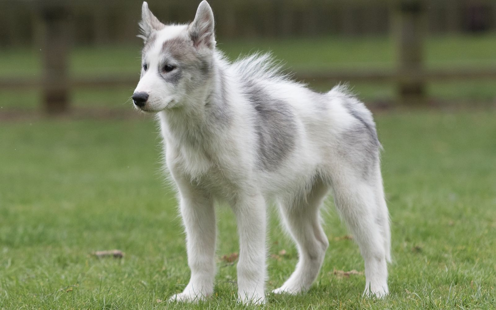 Canadian Eskimo Dog - Puppy