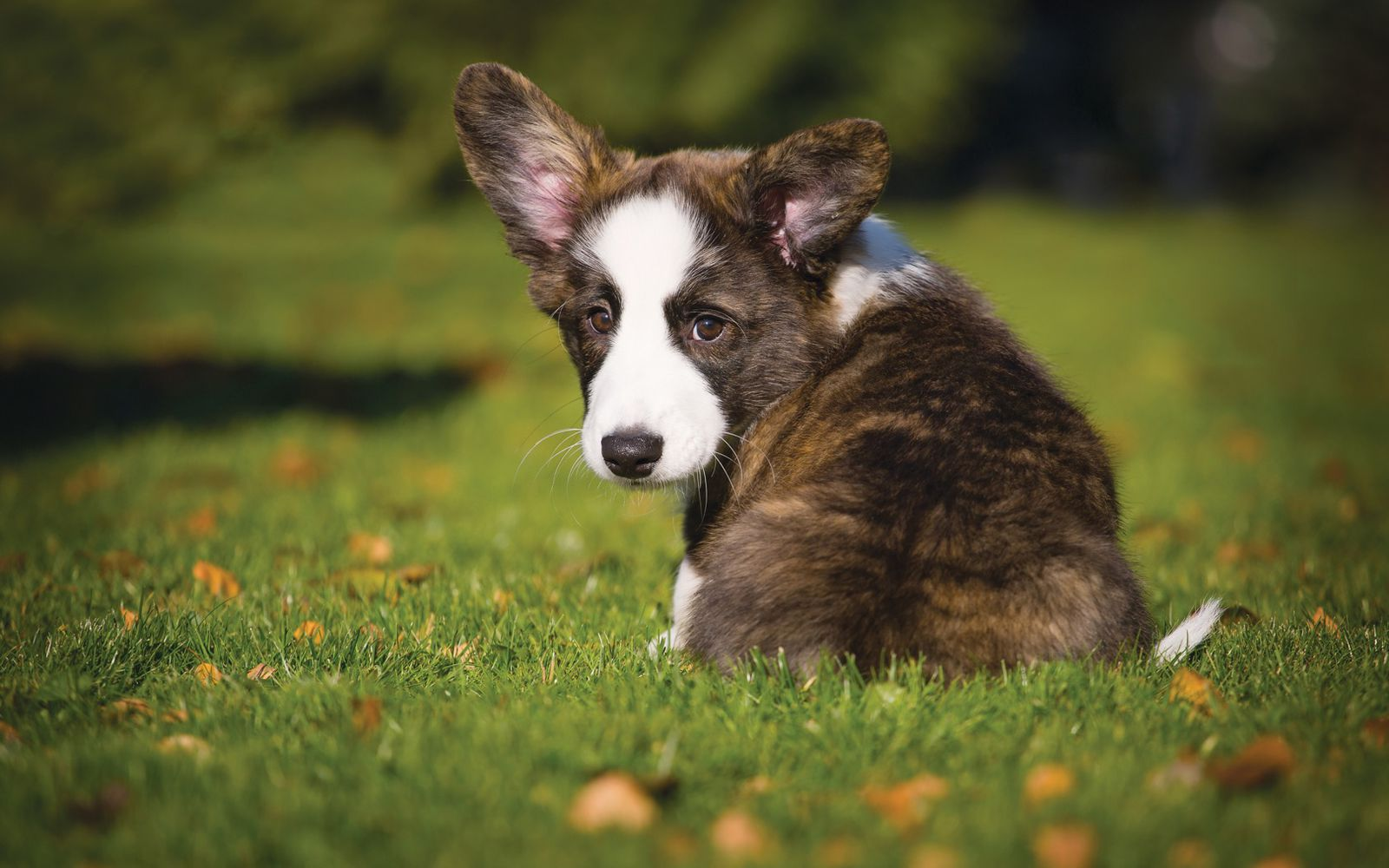 Cardigan Welsh Corgi - Puppy