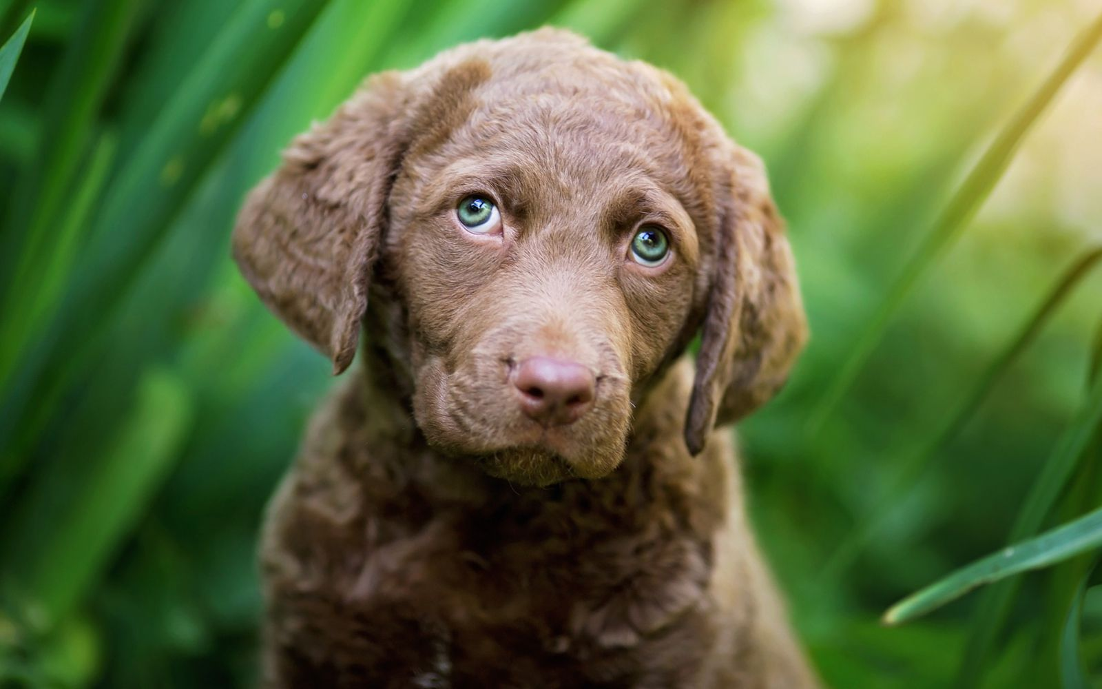 Chesapeake Bay Retriever - Puppy