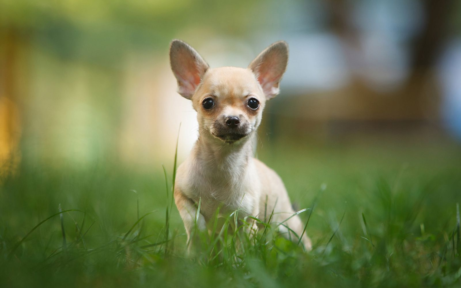 Chihuahua (Smooth Coat) - Puppy