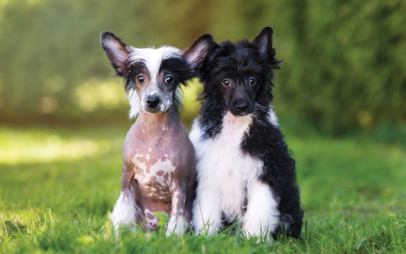 Chinese Crested - Puppy