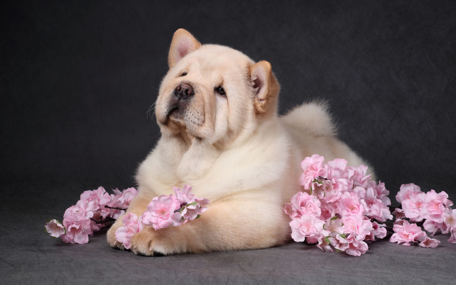 Chow Chow - Puppy