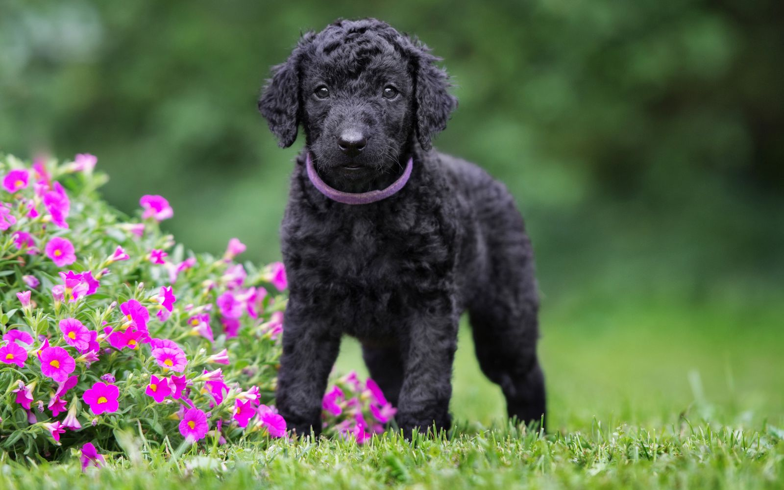 Curly Coated Retriever - Puppy