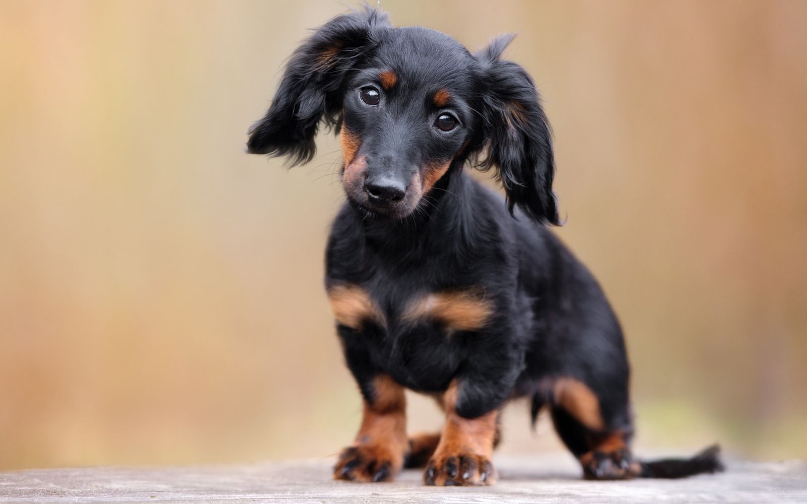 Dachshund (Long Haired) - Puppy