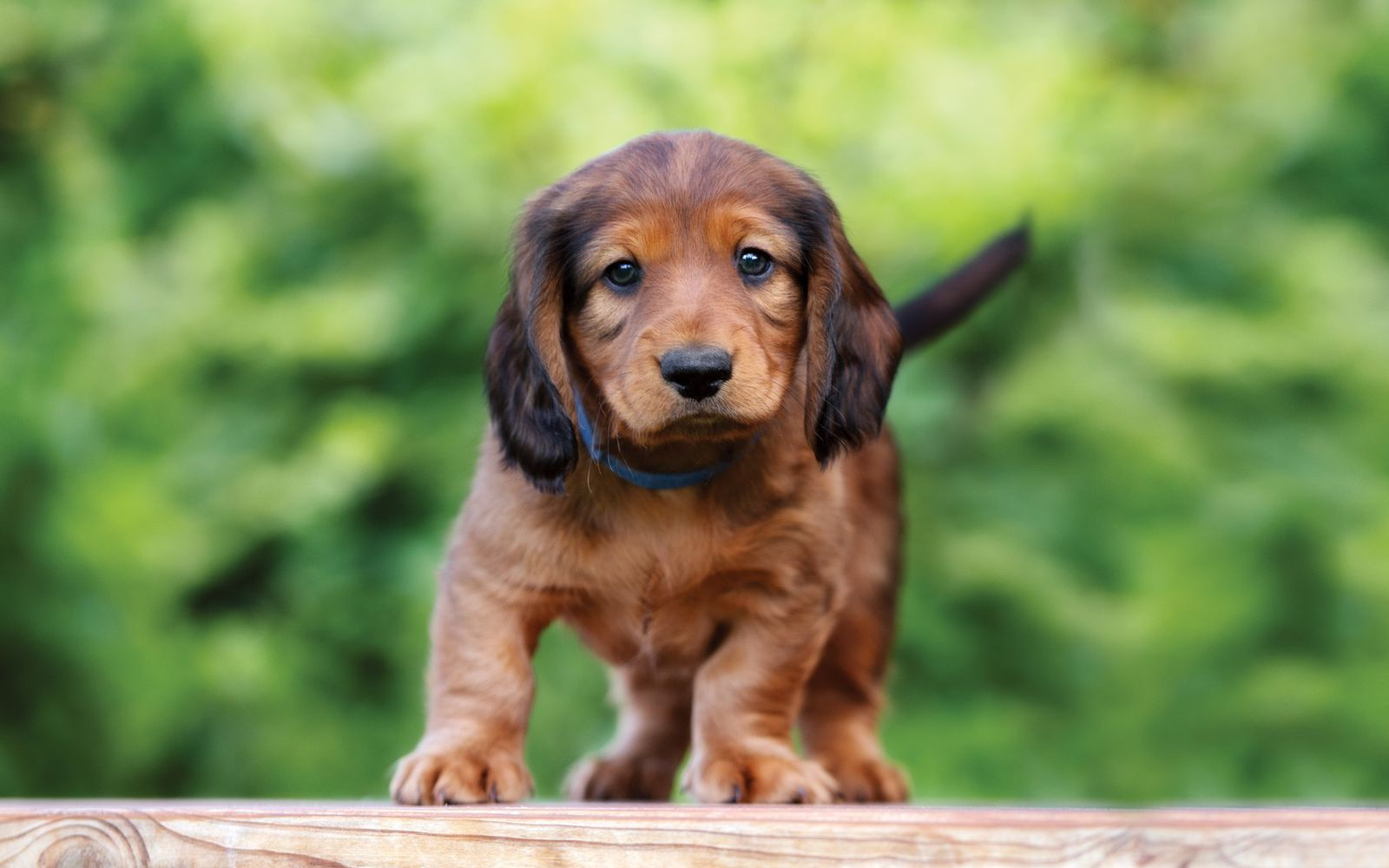 Dachshund (Miniature Long Haired) - Puppy