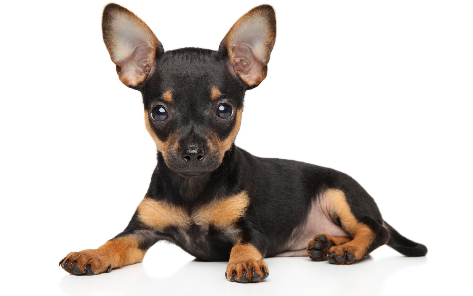 English Toy Terrier (Black and Tan) - Puppy