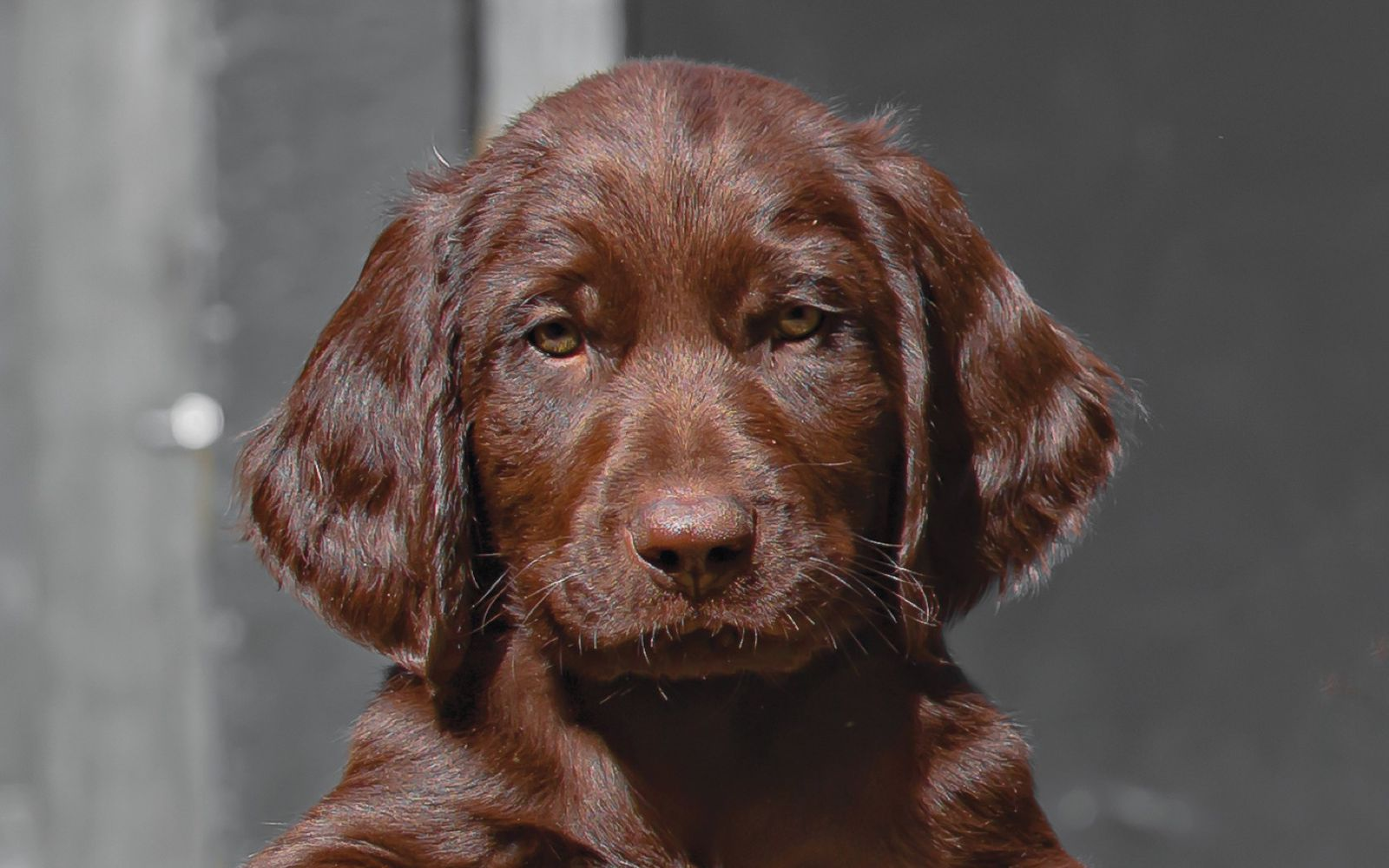 German Longhaired Pointer - Puppy