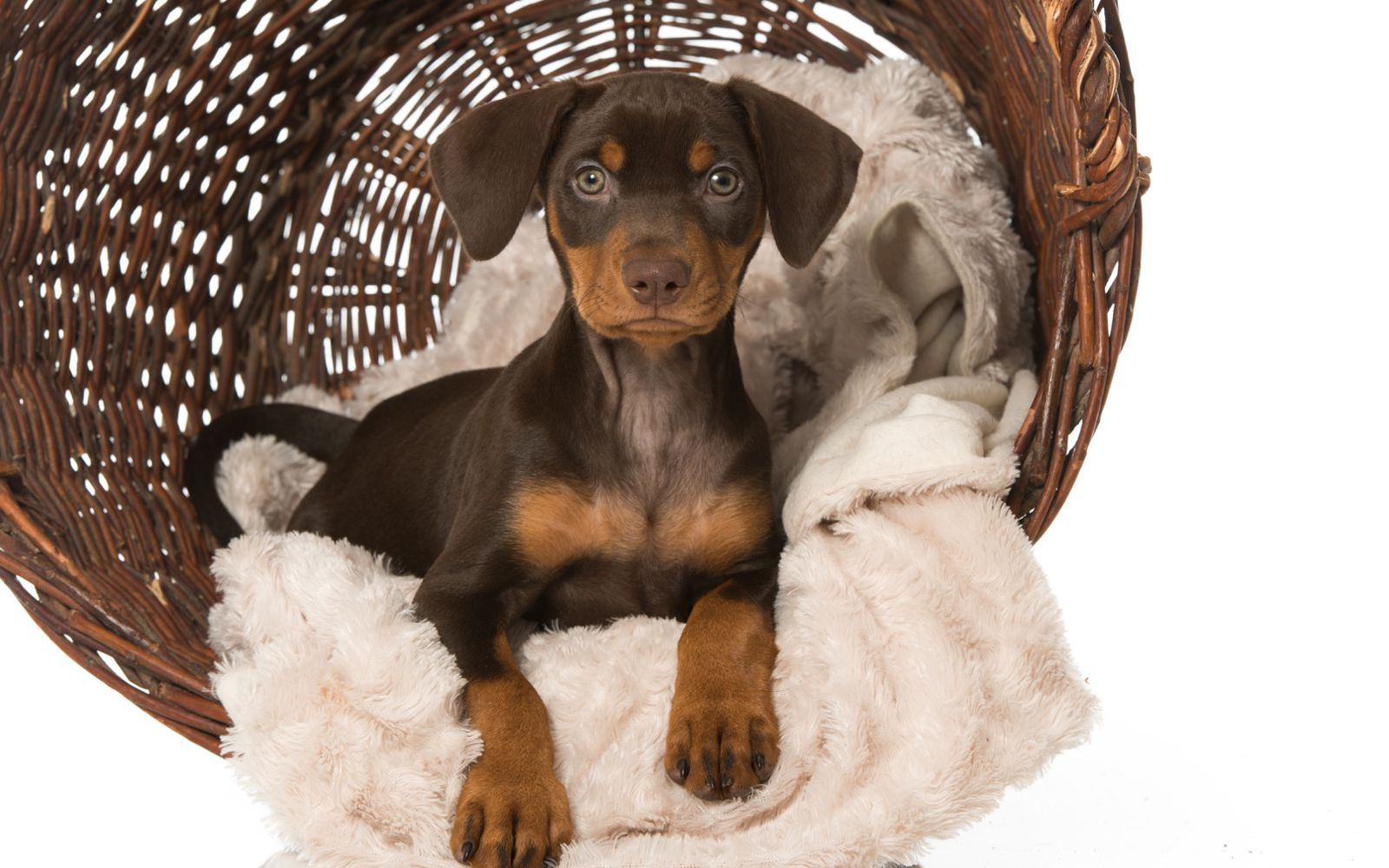 German Pinscher - Puppy