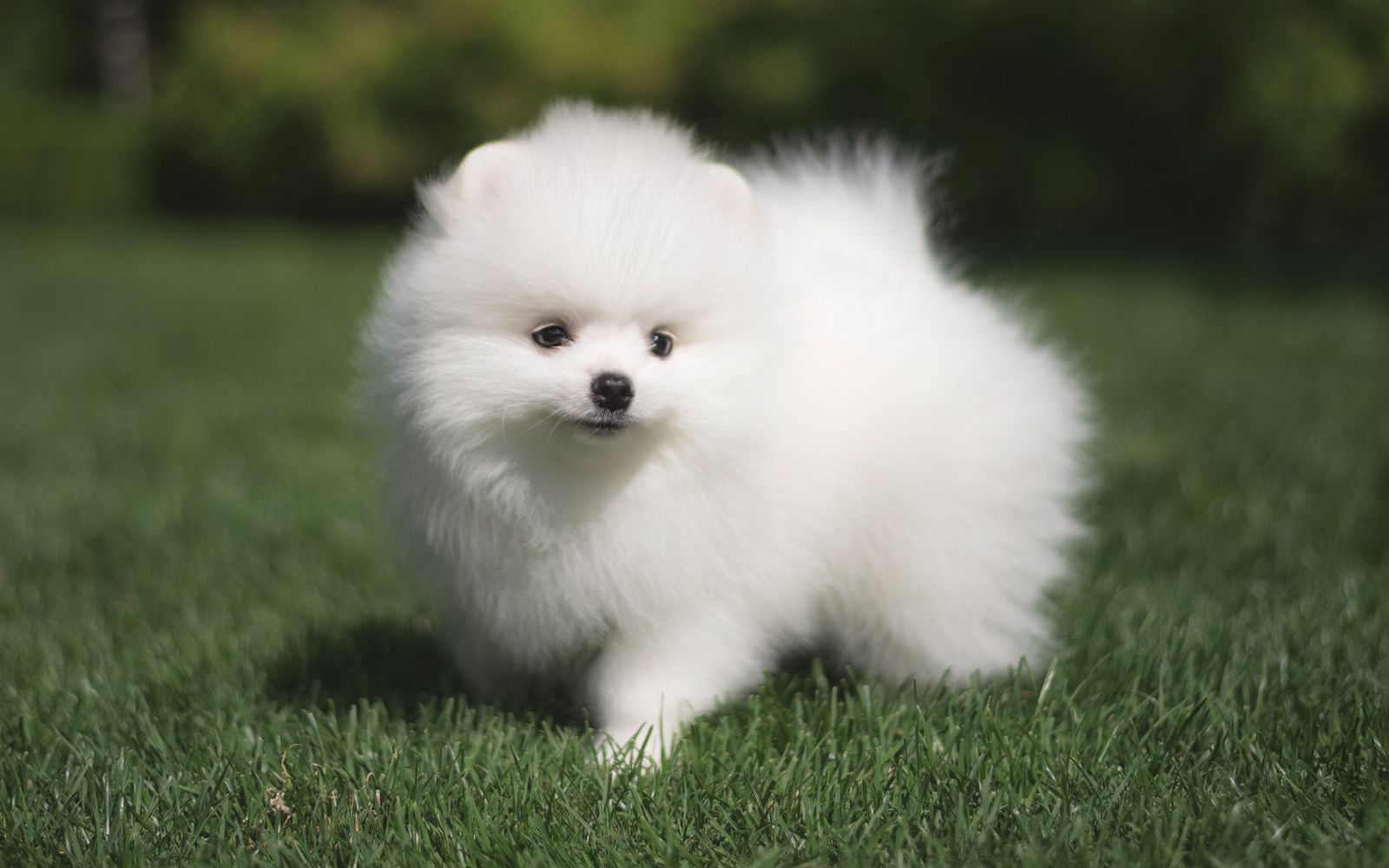 German Spitz Klein - Puppy