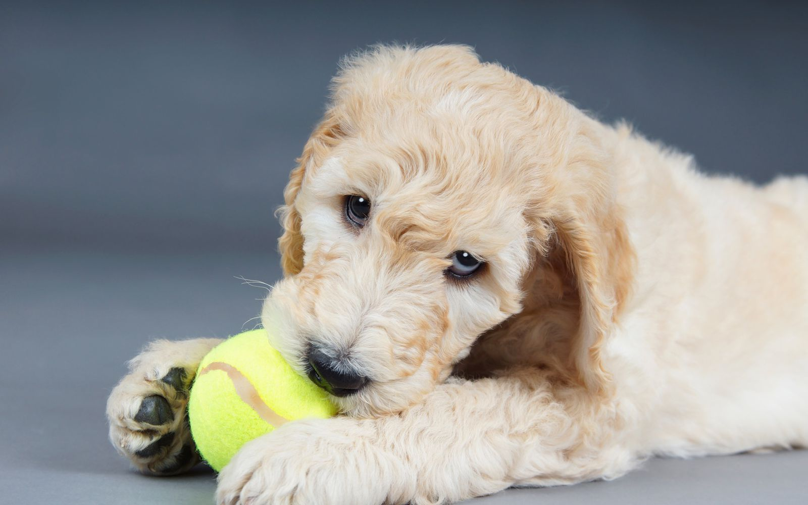 Goldendoodle Large - Puppy