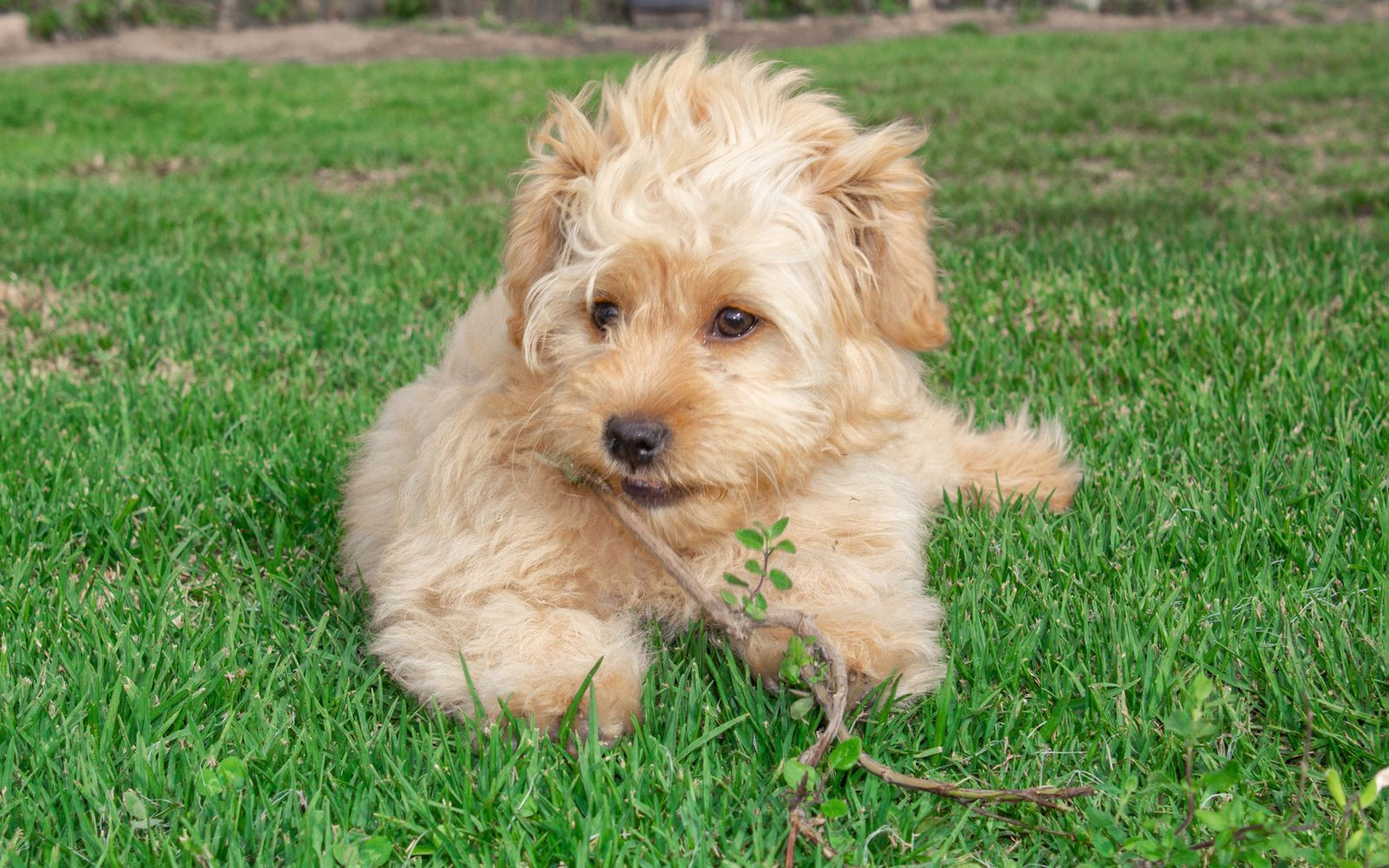 Goldendoodle Mini - Puppy