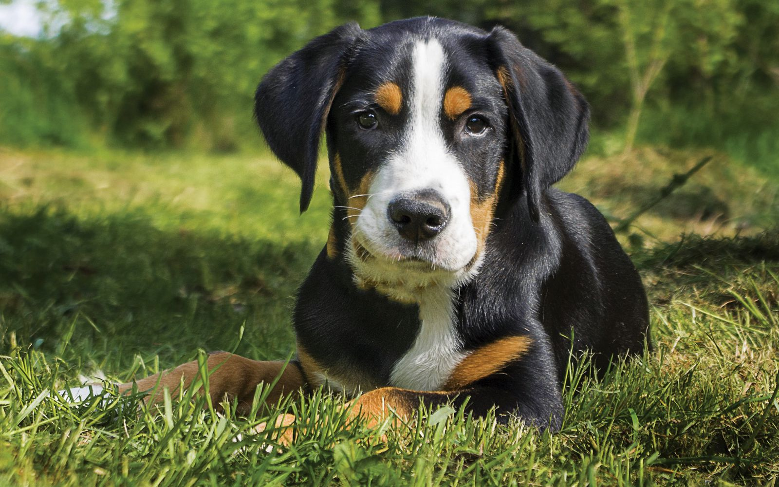 Great Swiss Mountain Dog - Puppy
