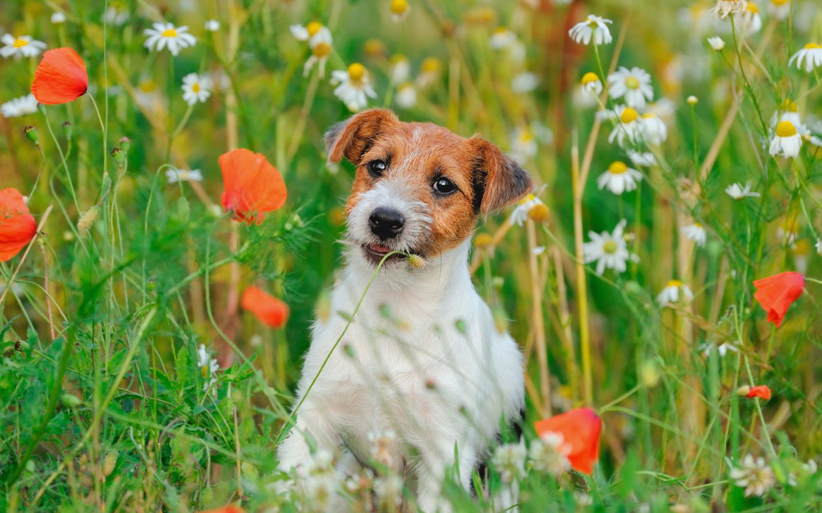 Jack Russell Terrier - Puppy