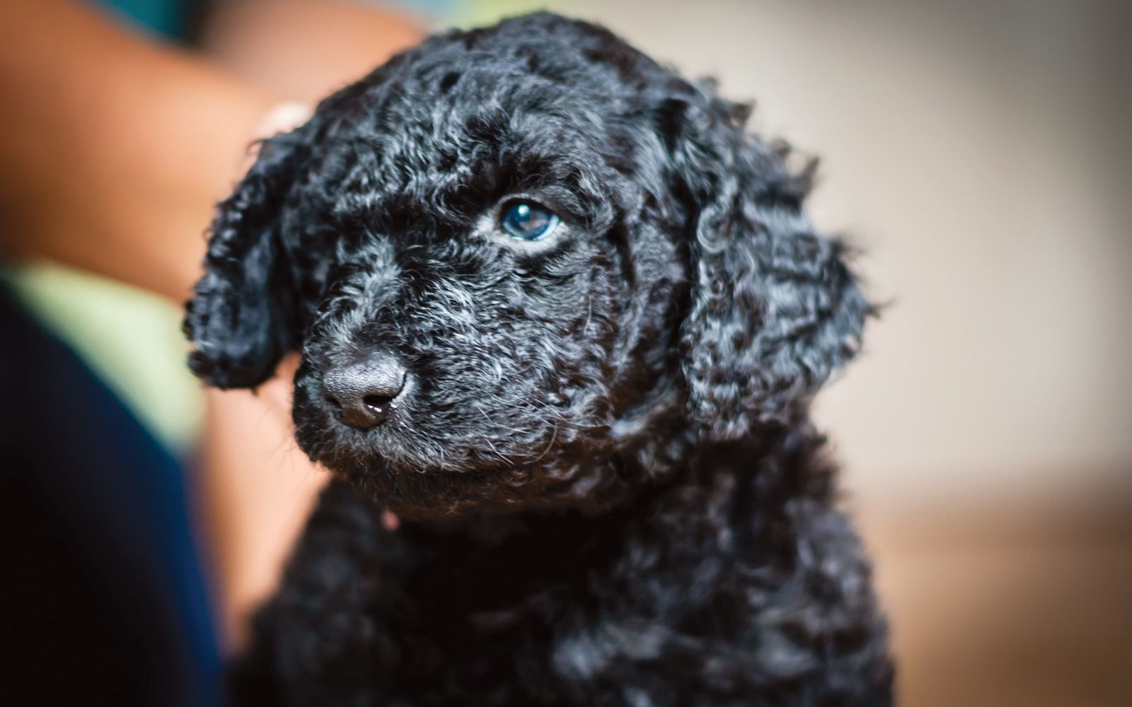 Labradoodle Large - Puppy