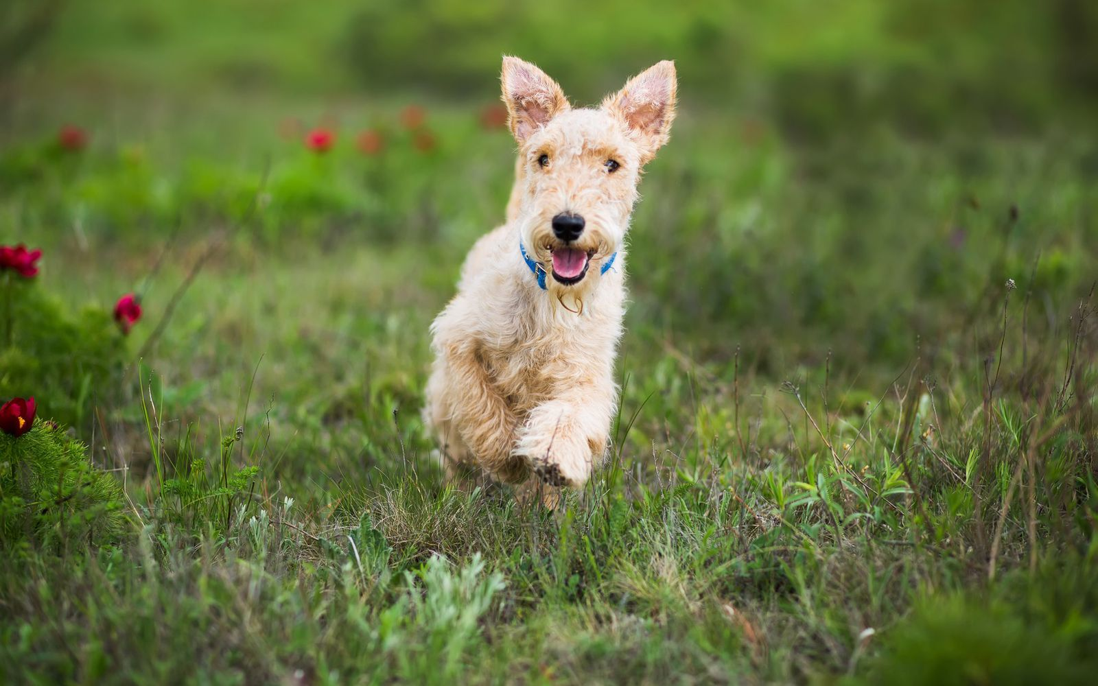 Lakeland Terrier - Puppy
