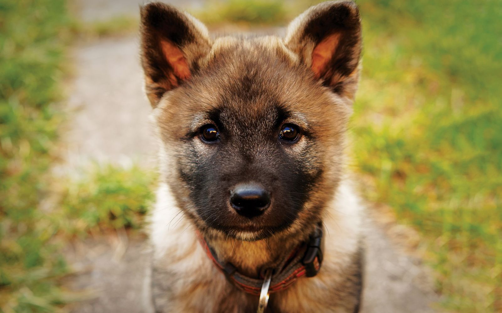 Norwegian Elkhound - Puppy