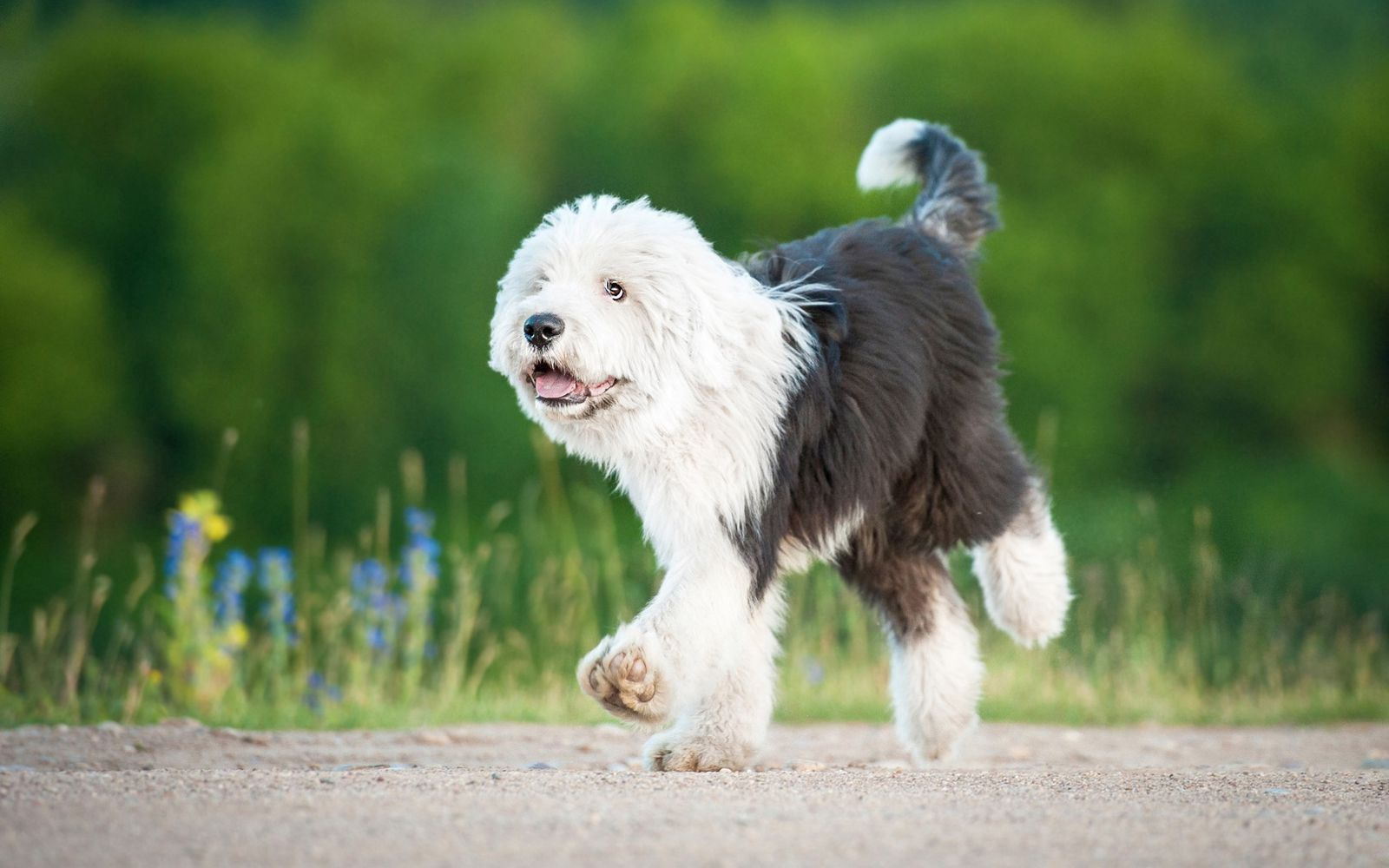 Old English Sheepdog - Puppy