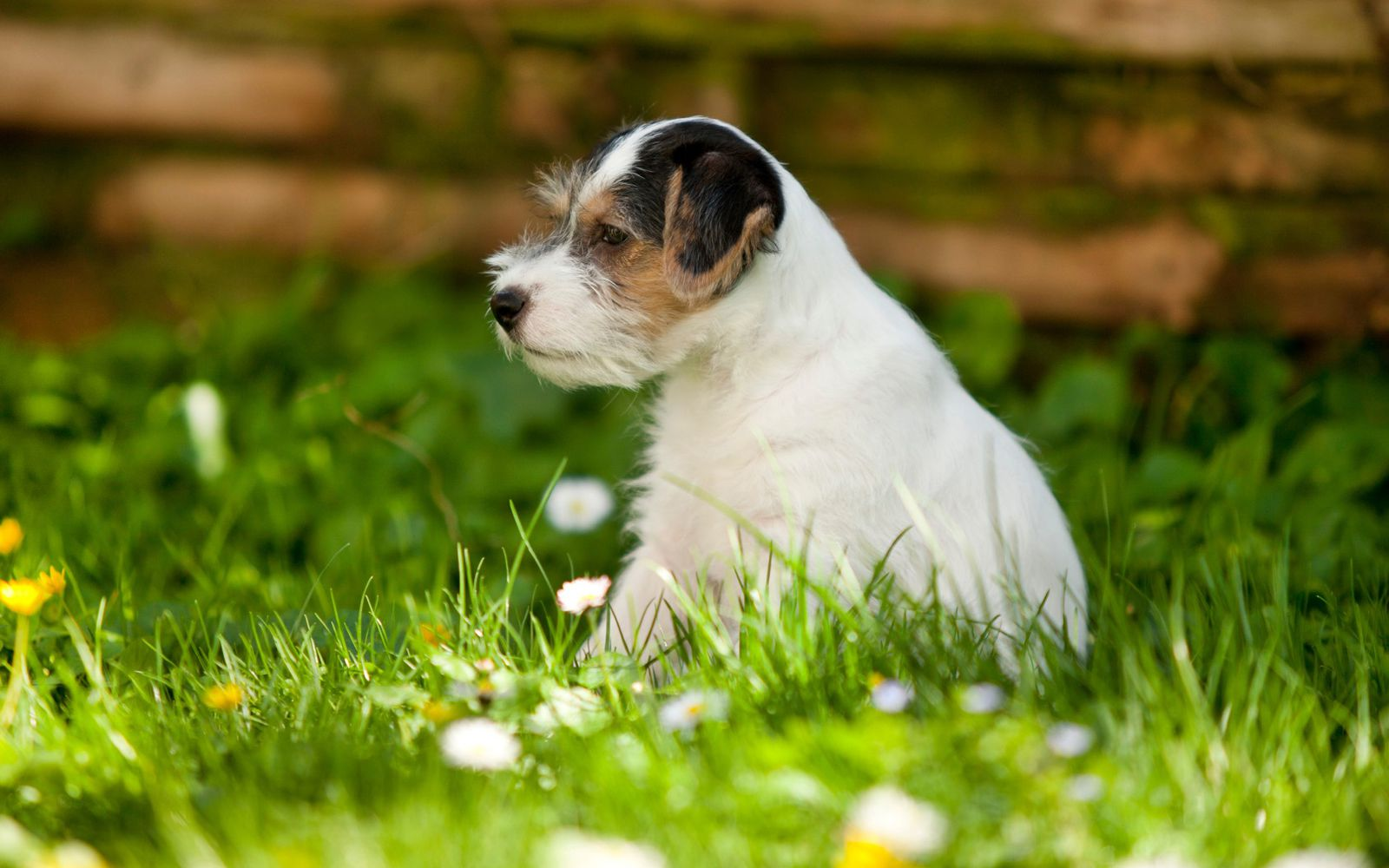 Parson Russell Terrier - Puppy