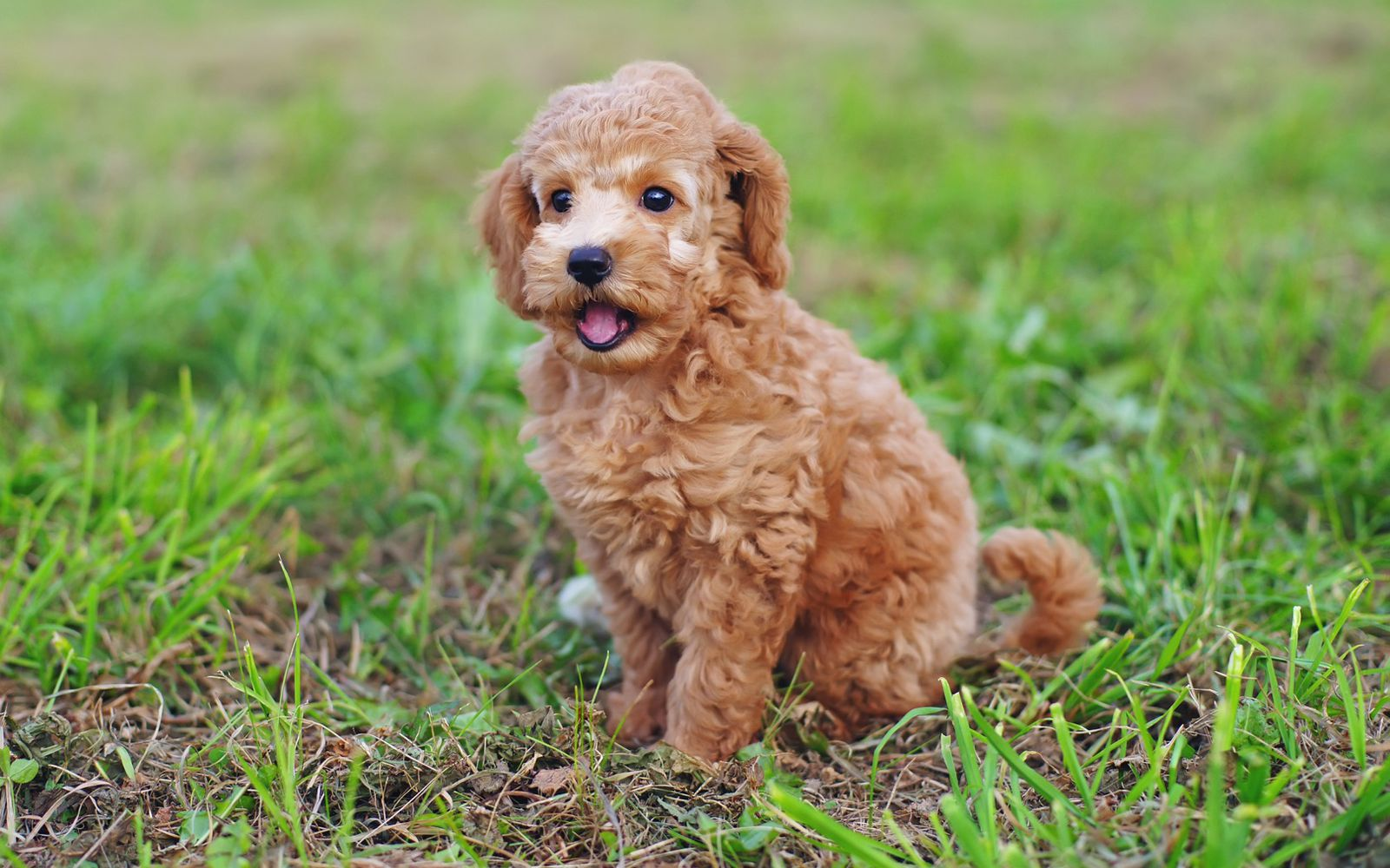 Poodle (Toy) - Puppy