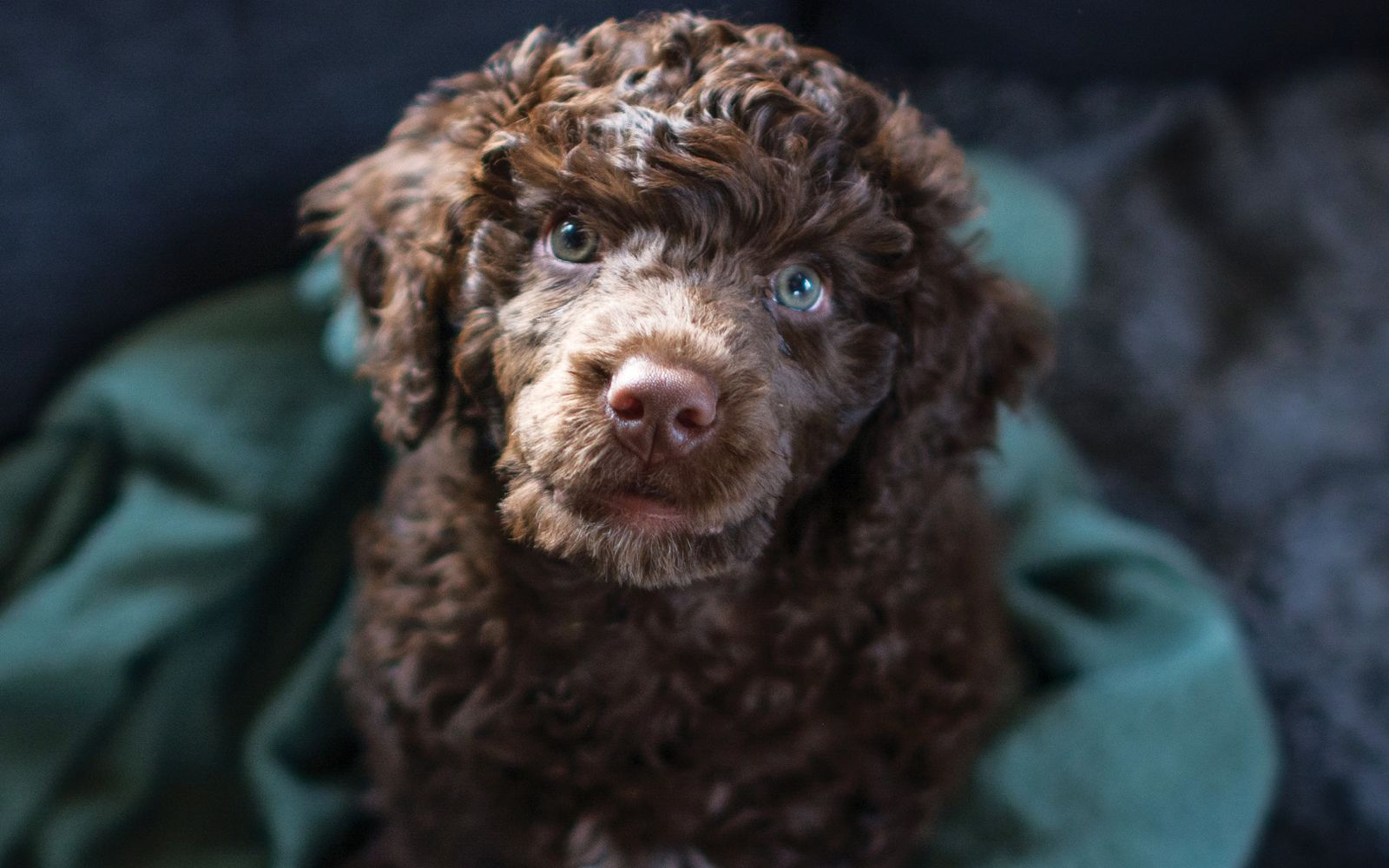 Portuguese Water Dog - Puppy