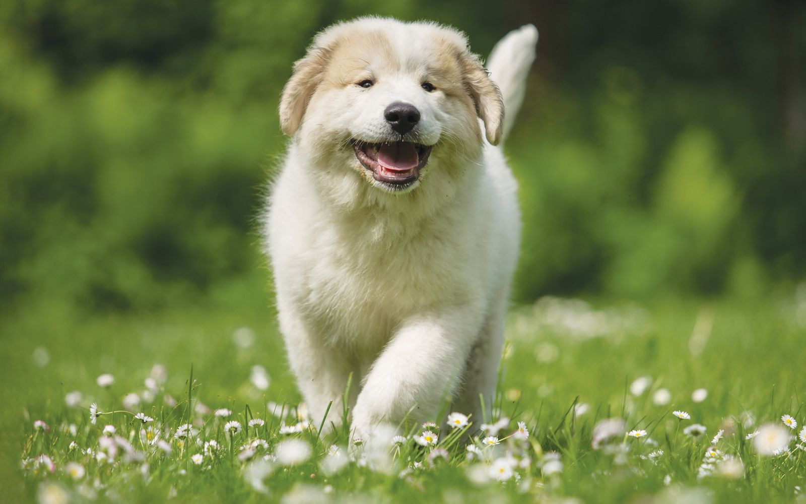 Pyrenean Mountain Dog - Puppy