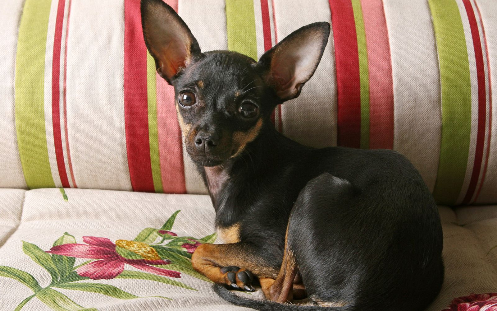 Russian Toy Terrier - Puppy