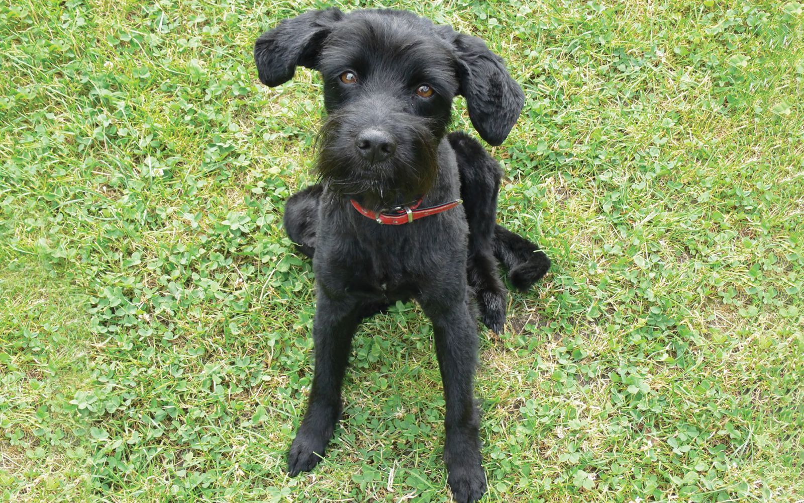 Schnoodle Large - Puppy