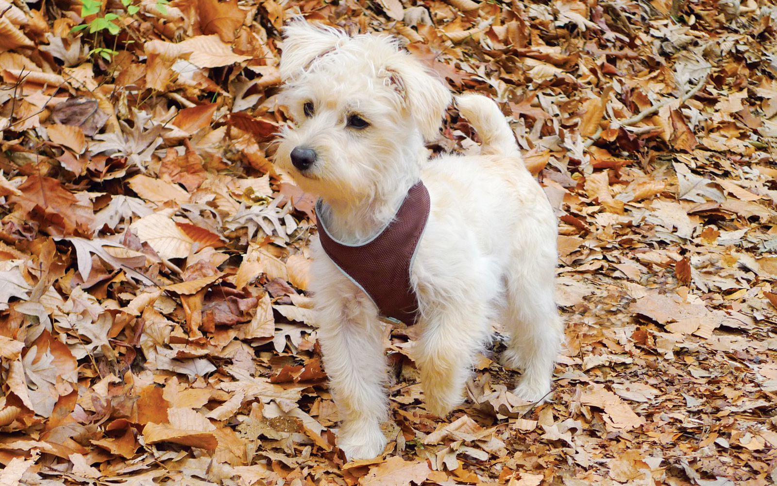 Schnoodle Toy - Puppy
