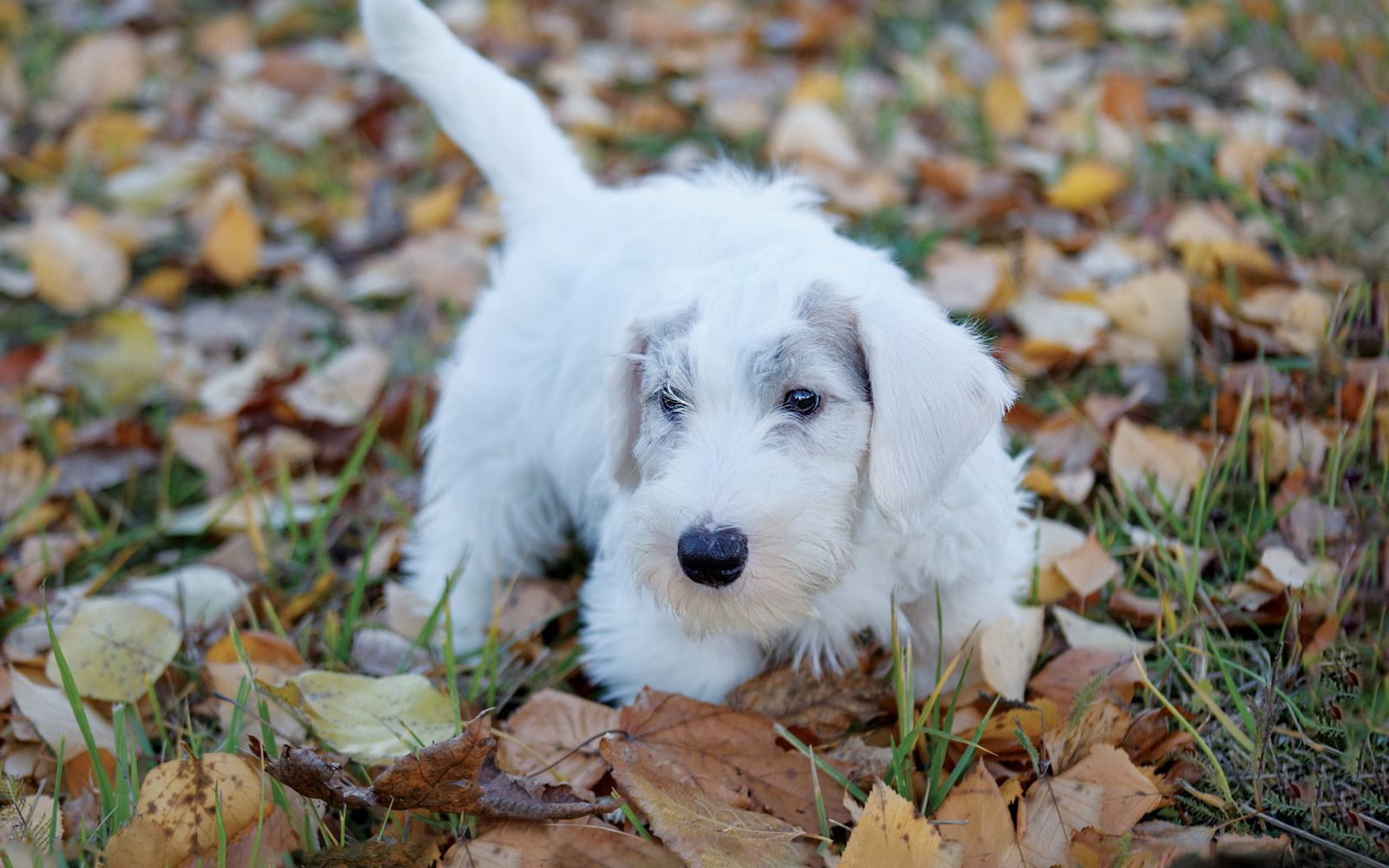 Sealyham Terrier - Puppy