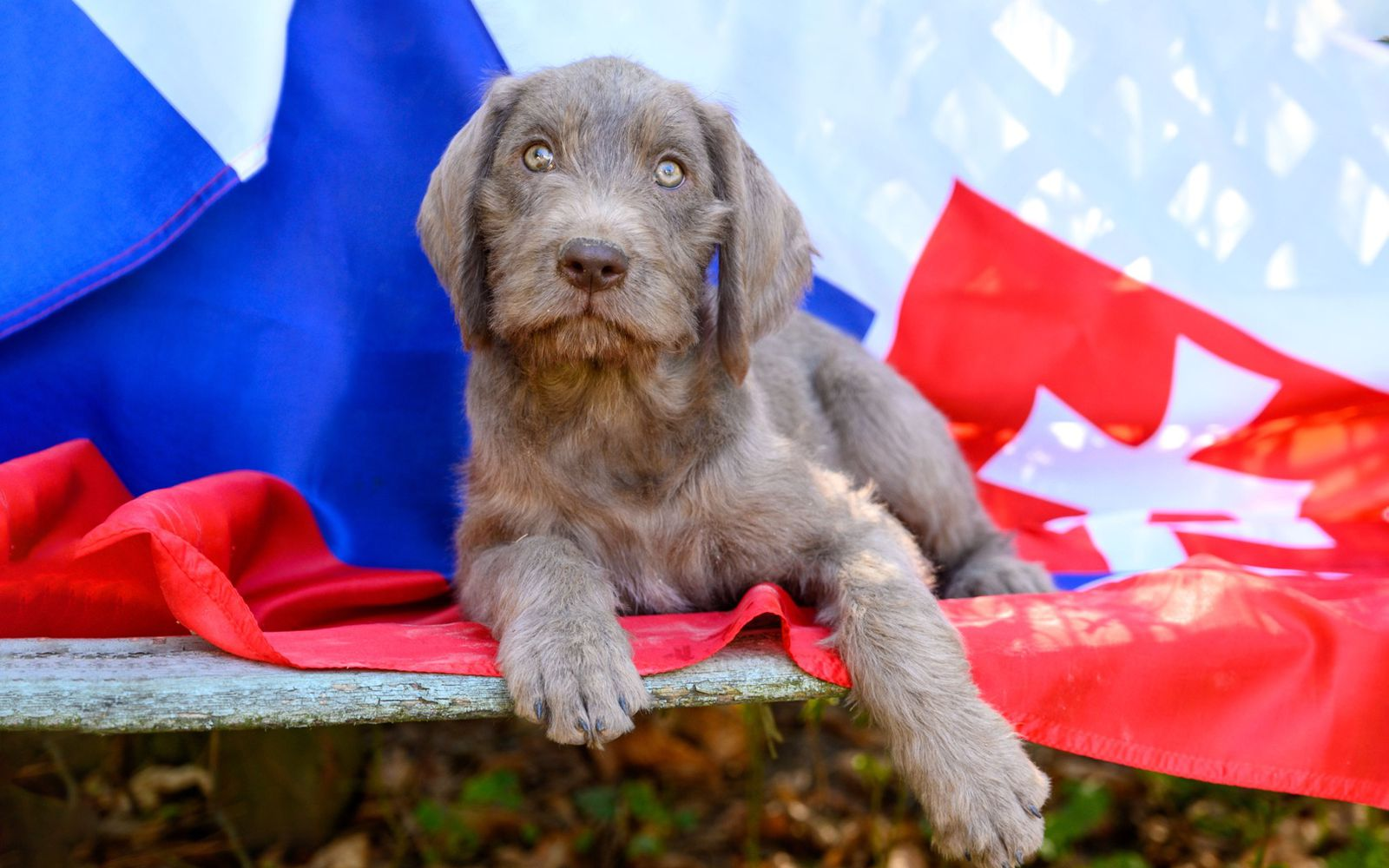 Slovakian Rough Haired Pointer - Puppy