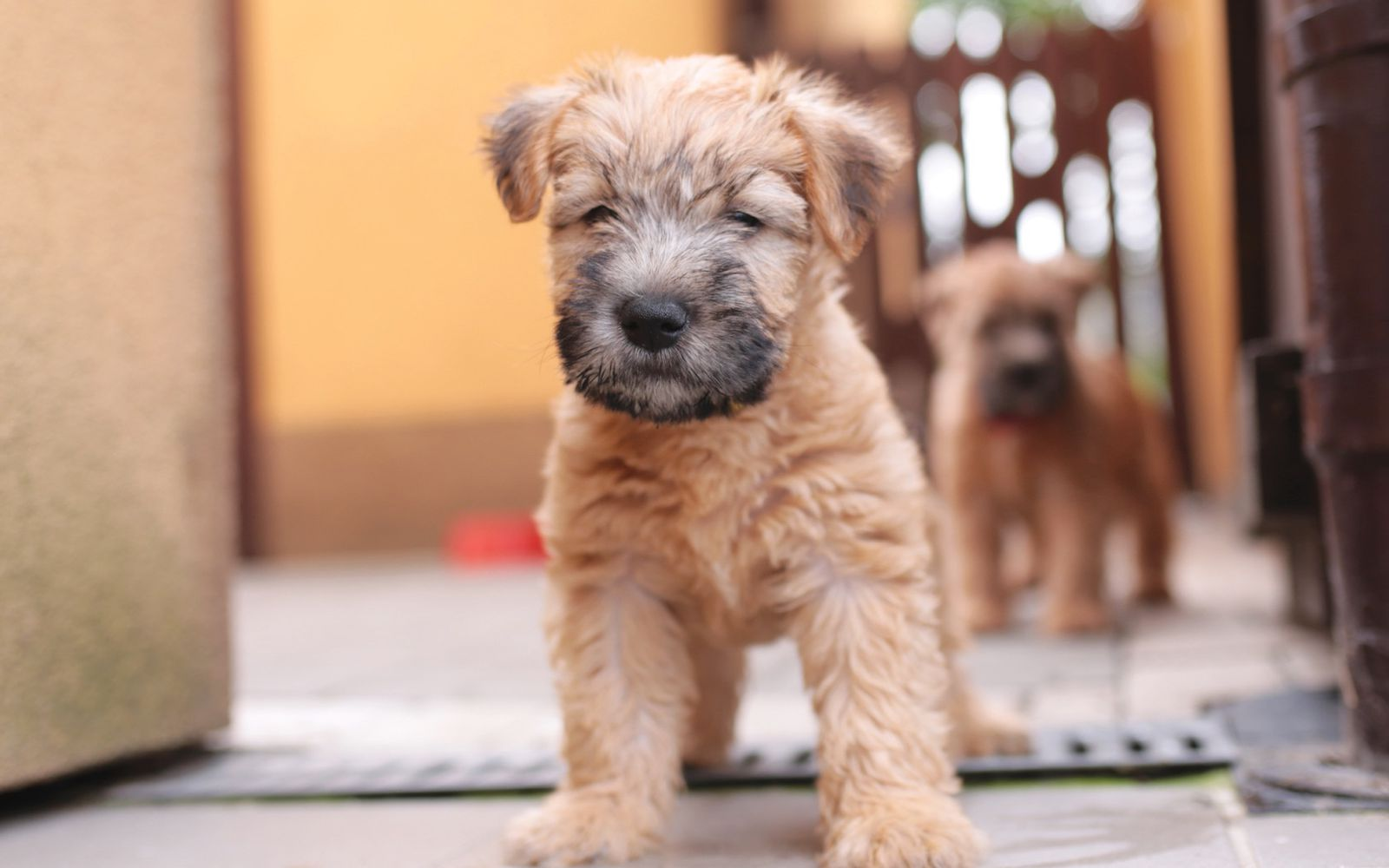 Soft Coated Wheaten Terrier - Puppy