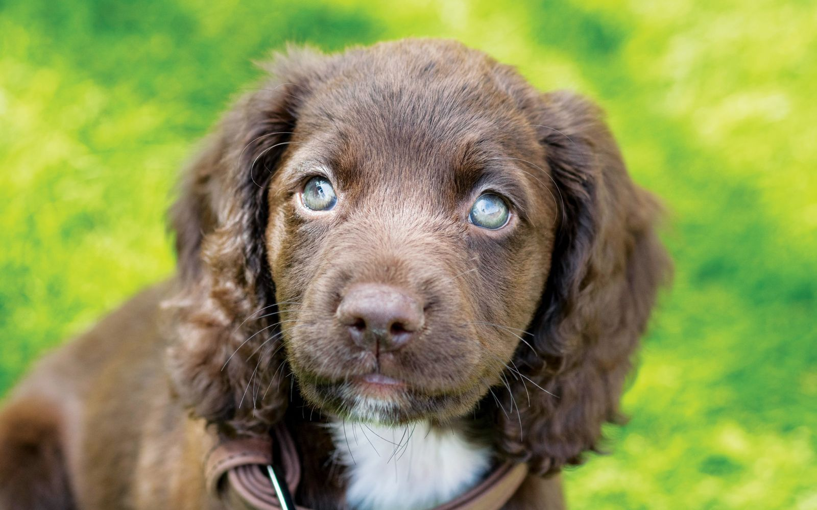 Sprocker - Puppy