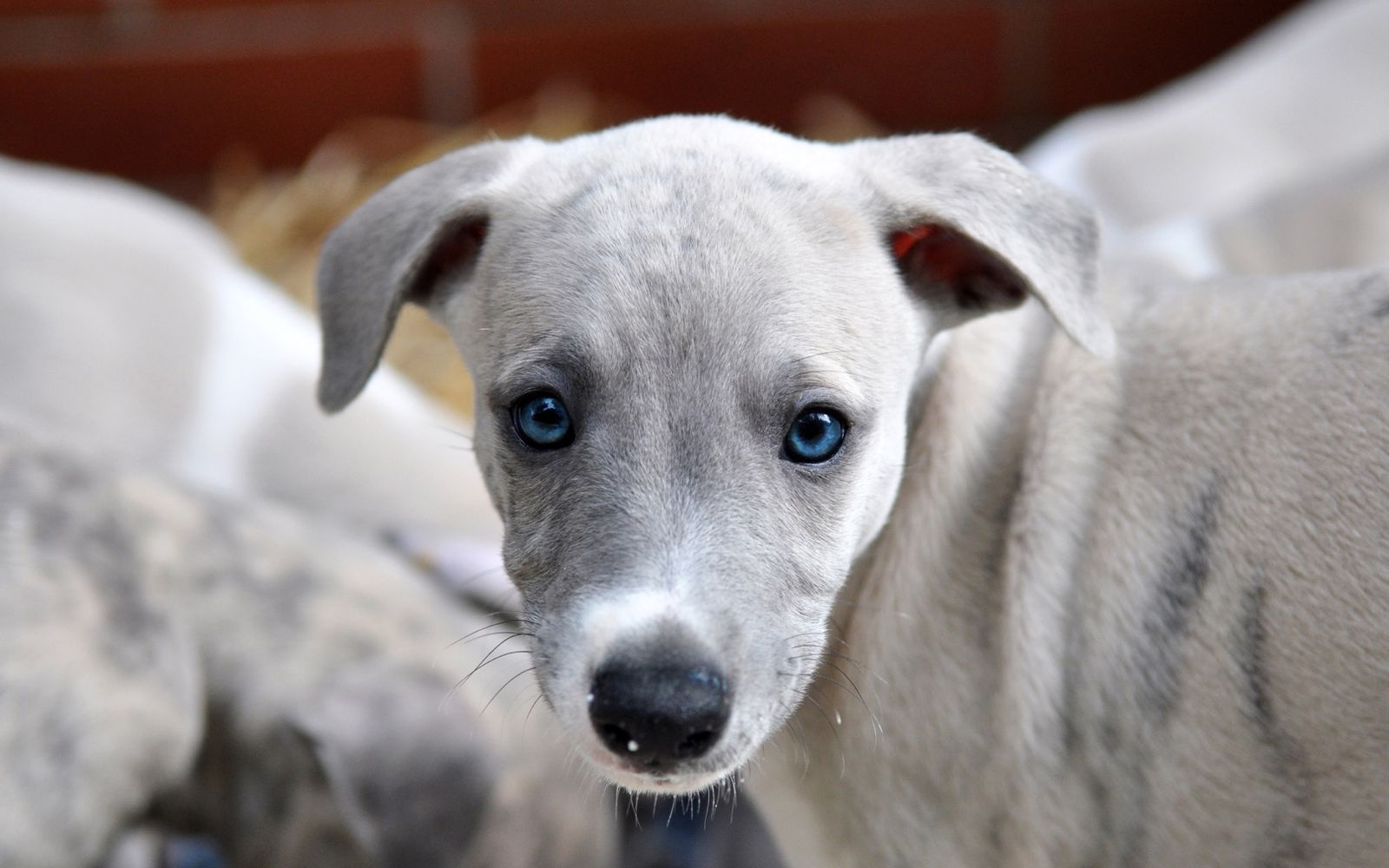 Whippet - Puppy